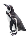 Penguin isolated on a white Royalty Free Stock Photos