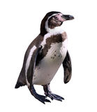 Penguin. Isolated on white Stock Photos