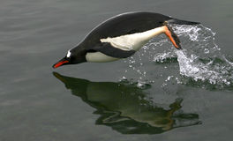 Penguin Jumping Stock Photography