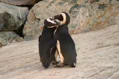 Penguin Kisses. Penguins grooming each other, appear to hug and kiss royalty free stock photo