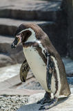 Penguin in Kumamoto zoological and botanical garden Royalty Free Stock Photo