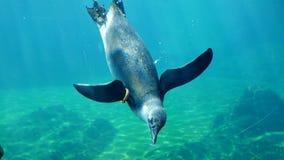 Penguin life, underwater inhabitants eat food in big aquarium. Close-up stock footage