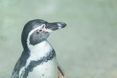 Penguin. Little penguin standing and waiting food from traveler Royalty Free Stock Images