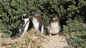 Penguin Living In Nature Freedom Of Life. Wildlife life penguin family living with freedom in natural. South africa royalty free stock photography