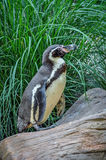 Penguin on a Log. Penguin standing on a log looking left royalty free stock image
