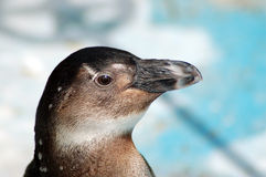 Penguin Look Royalty Free Stock Images