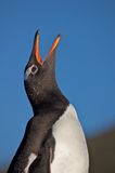 Penguin Looking Skyward Royalty Free Stock Photography