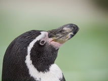 Penguin looking up Royalty Free Stock Photography