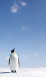 Penguin looking up. Single penguin stood on snowy landscape looking up at blue sky, Antarctica