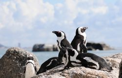 Penguin lookout. Group of penguins on top of granite rocks at Boulders Beach near Simonstown Royalty Free Stock Images
