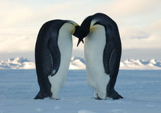Penguin love Royalty Free Stock Photos
