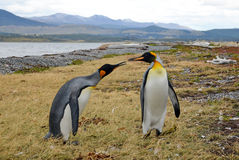 Penguin love Royalty Free Stock Image