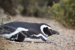 Penguin lying Royalty Free Stock Image