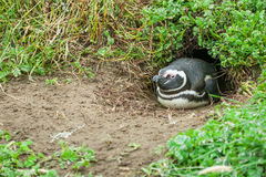Penguin lying in burrow Royalty Free Stock Images