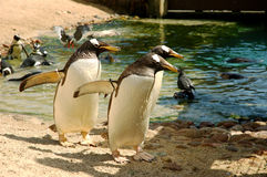 Penguin mafia. Three penguins walking in formation Royalty Free Stock Images