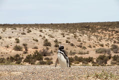 Penguin Magellanic in the wild nature. Patagonia, Argentina. Stock Photo