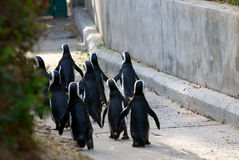 Penguin march Stock Image