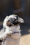 Penguin molting feathers. Cute bird shedding feathers looking ug Royalty Free Stock Image