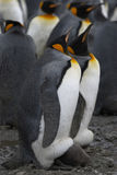 Penguin mother Royalty Free Stock Photos