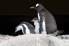 Penguin mother and chicks - gentoo penguin Stock Photo