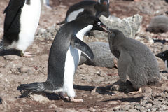 Penguin mother feeding the chick -Adelie Penguin Stock Photography