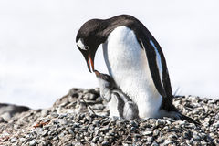 Free Penguin Mother Feeding The Chick - Gentoo Penguin Royalty Free Stock Photography - 27015857