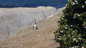 Penguin in the natural habitat Stock Images