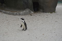 Penguin. On natural park Zoom Turin Stock Photos
