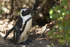 Penguin on a nest Stock Photos