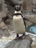 Penguin Niagara Falls Buffalo Aquarium royalty free stock photo