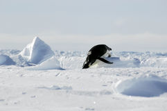Penguin olympics. Well, at least the hurdles Stock Photo