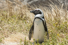 Free Penguin On Beach Stock Images - 36152104