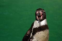 Penguin, open beak stock image