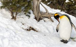 Penguin outside in snow cleaning itself. Calgary zoo Royalty Free Stock Image
