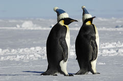 Penguin pair with caps Stock Image
