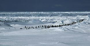 Penguin panorama. A group of about eighty adelie penguins in front of a beatiful Antarctic pack ice scenery. Parts of the icescape in the background are Royalty Free Stock Image