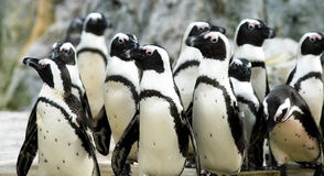 Penguin Parade Stock Photo