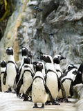Penguin Parade Stock Photography