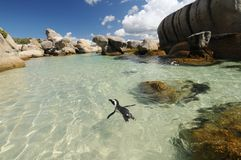 Penguin Paradise. Penguin swims through translucent pools at Boulders Beach near Simonstown, cape Town Royalty Free Stock Image