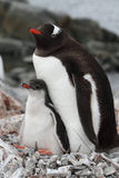 Penguin parent with young, Antarctica Royalty Free Stock Image