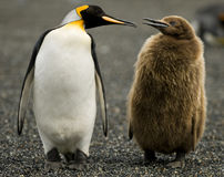 Penguin Parenting Stock Photography