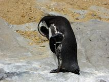 A penguin pecking his own skin Royalty Free Stock Image
