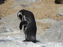 Shanghai Penguin Clam