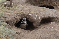 A Penguin. In Península Valdes, Argentina stock photography