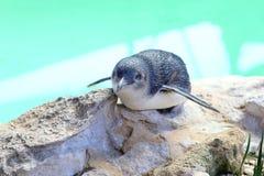 Penguin at Penguin Island, Rockingham, Western Australia Stock Photo