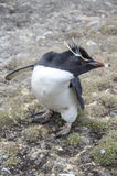 Penguin Stock Photo