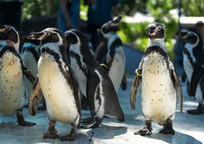 Penguin. S are a group of aquatic, flightless birds living almost exclusively in the Southern Hemisphere, especially in Antarctica Royalty Free Stock Photo