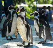 Penguin. S are a group of aquatic, flightless birds living almost exclusively in the Southern Hemisphere, especially in Antarctica Stock Photography