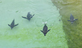 Penguin. Photograph of a Penguin swimming in the water Stock Image