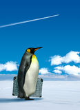 Penguin planning to travel Stock Photography